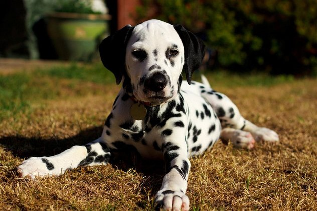 Cu si despre Dalmatian