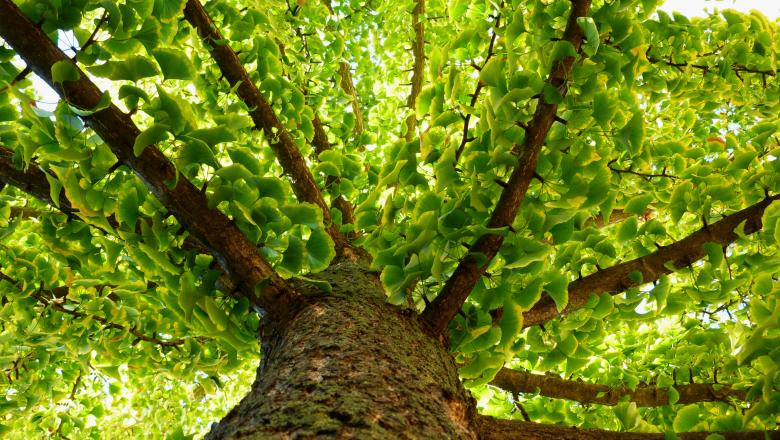 Ce beneficii are Ginkgo Biloba?
